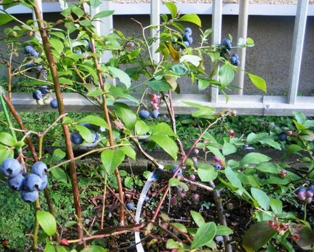 Blueberry_tree