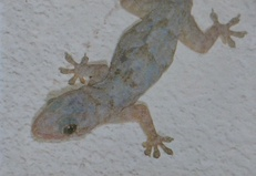 Gecko_2