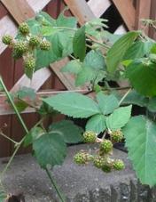 Raspberry0622_2